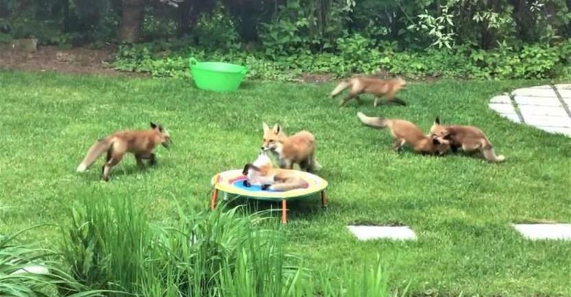 zorros juegan jardin hombre - Zorros visitan jardín de hombre y lo usan como centro de juegos. Es su momento de relajo y calma