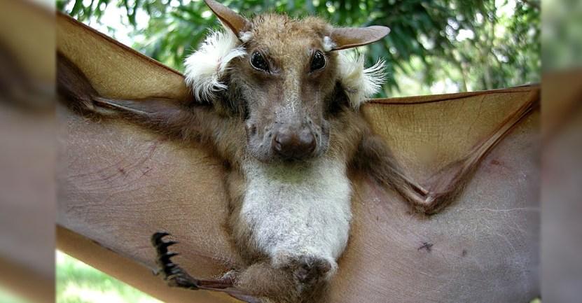 murcielago perro - El extraño murciélago con apariencia de «perro volador» que fue hallado en África. Es una belleza