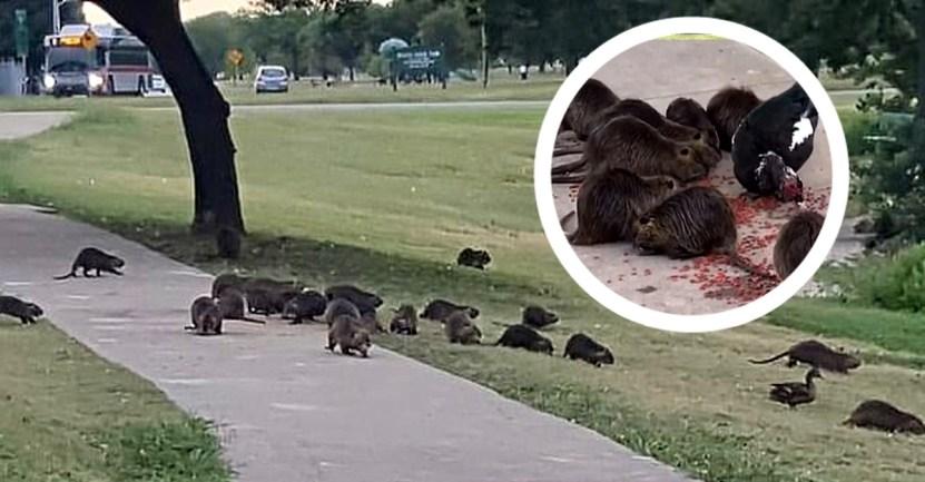 ratas gigantes texas - Roedores gigantes de pantano invaden un parque de Texas ante el temor de los vecinos. Buscan comida