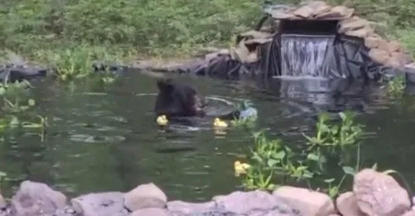 oso negro decidio banarse en estanque de una familia y jugar con sus patos de hule  - Oso negro decidió bañarse en estanque de una familia y jugar inocentemente con sus patos de hule