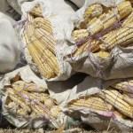 maiz transgenico cuartoscuro crop1607114290531.jpg 242310155 - Mayas denuncian siembra de maíz y soya transgénicos en Campeche