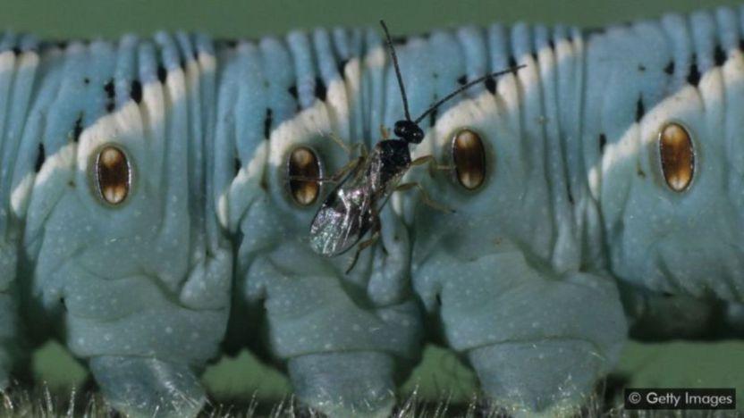 116211874 foto 01 - El insecto de 1 milímetro que salvó la economía de un país