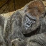 5ffcc43fe9ff7169b709fd6a 1 - Científicos de EU detectan la presencia de SARS-CoV-2 en gorilas del zoológico de San Diego