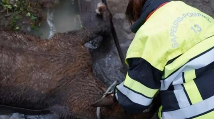 Captura de Pantalla 2021 01 13 a las 16.13.00 - Bomberos acude a llamado de emergencia para salvar a una yegua atascada bajo un puente. La salvaron