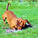 La razon por la que los perros entierran huesos y otros objetos - La razón por la que los perros entierran huesos (y otros objetos)