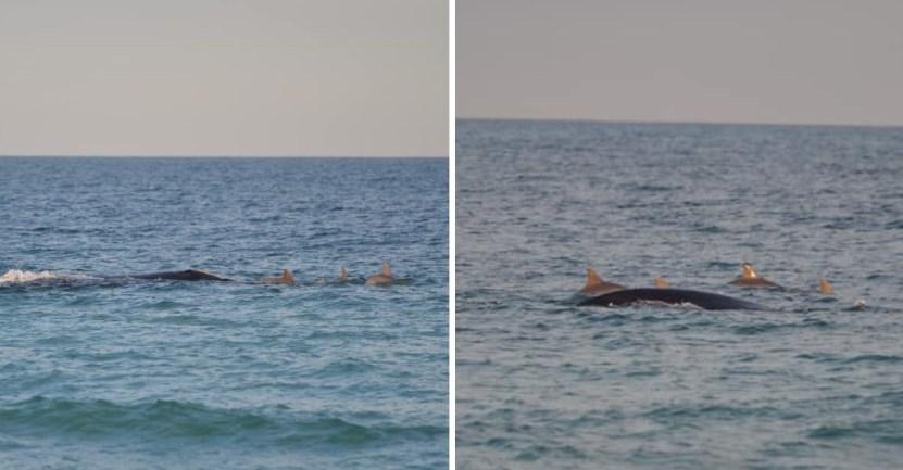 ballenafranca delfines portada - Ballena fue vista nadando con una manada de delfines en una playa de Florida. Parecen buenos amigos