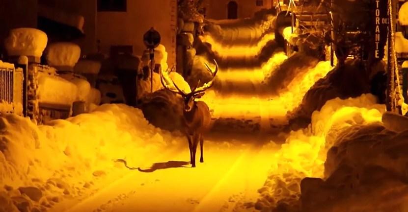 ciervo nieve rey - Ciervo caminando sobre la nieve en las vacías calles de Italia derrocha belleza. Un paisaje mágico