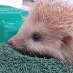 erizo rubio - Exótico erizo rubio es encontrado y rescatado de las calles en Inglaterra. Padecería de albinismo