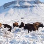 erja9cqucaavvzb 1 1 - FOTOS: Manada de bisonte americano se establece en Chihuahua después de 100 años de ausencia
