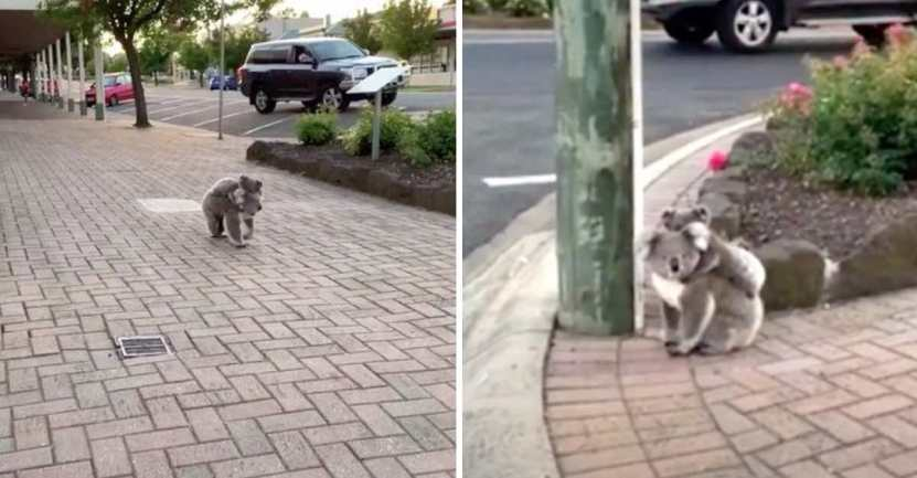 koala lleva a su bebe en la espalda - Una adorable mamá koala es vista con su cría en un pueblo rural. Cruzaba las calles cuidadosamente