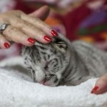 nieves tigresa blanca nicaragua - Falleció Nieve, la tigresa blanca en peligro de extinción de Nicaragua. Vivió menos de 15 días