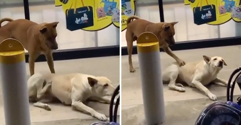 perro ayuda rascar - Perrito le rasca la espalda a su compañero peludo cuando este no alcanza. Una amistad incondicional