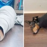 roger burrito portada - Perro no encontró un mejor lugar para acurrucarse que las mangas de un suéter. Es su sitio favorito