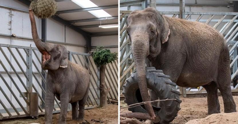 elefanta circo safari - Elefanta pasó de ser maltratada en un circo a una vida tranquila de safari. Es el retiro que merece