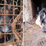 pastor aleman rescate maltrato jaula - Pastor alemán pasó 8 años en una jaula, sin juegos, espacio ni amor. Se recupera de tanto maltrato