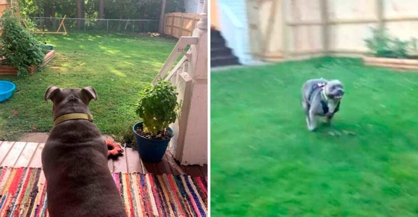 perro rescatado jardin  - Perrita rescatada disfruta con mucha alegría su primer jardín trasero. Todo para que ella corra