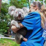 koala 1 z - Koala encontrado con tres patas disfruta su nueva vida con una prótesis. Es feliz en los árboles