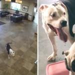 pitbulls hospital recorrido - Dos pitbulls intrusos entraron a un hospital e hicieron un recorrido. Buscaban hacer nuevos amigos