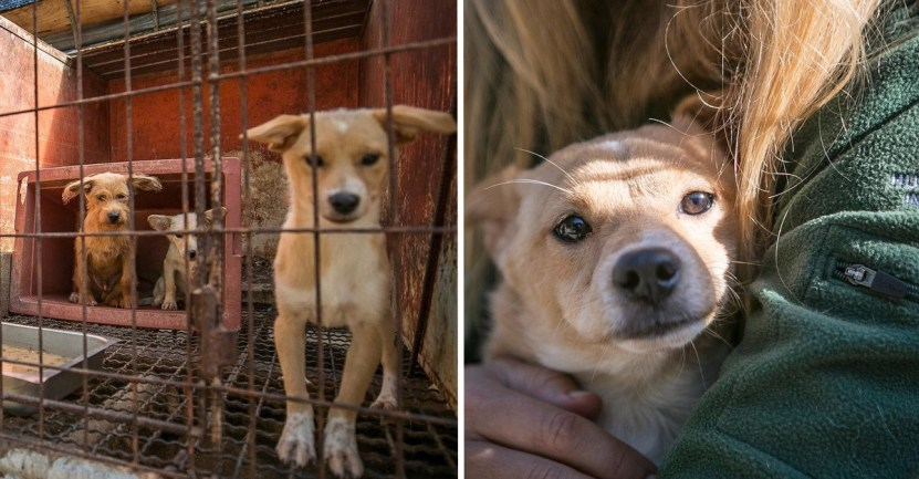 Fondo perro mercado carne rescate - Cachorro fue rescatado de una granja de carne en Corea de Sur. Hoy gusta de jugar a las escondidas