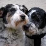perros hermanos rescate adopcion - Hermanos perrunos abandonados buscan nuevo hogar, pero juntos. Quieren estar unidos de por vida