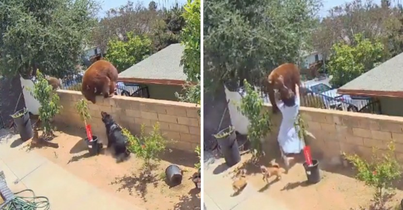 Fondo osa protege perros - Mujer se enfrentó a una osa para salvar a sus perros. La empujó de la verja usando sus propias manos