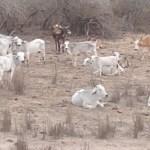 ganado.jpg 242310155 - Las lluvias ayudan con la sequía a ganaderos de Escuinapa