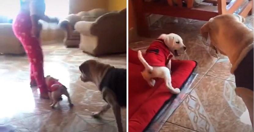 "cachorro muerde humana mama - Mamá labradora ""regaña"" a su cachorro por intentar morder a su humana. Le enseña desde pequeño"