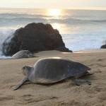 tortugas marinas - VIDEOS FUERTES: Una veterinaria denuncia el atropellamiento de tortugas en Sonora