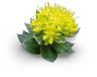 Foto van plant rhodiola rosea