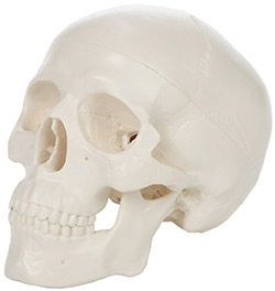Human Skull Desk Toy For Artists