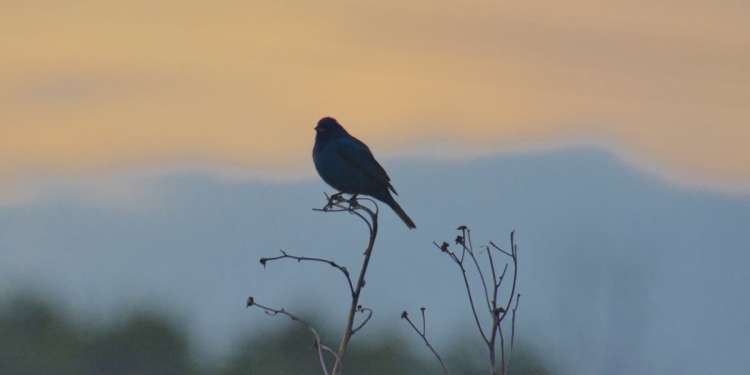 Indigo bunting in a field at sunset