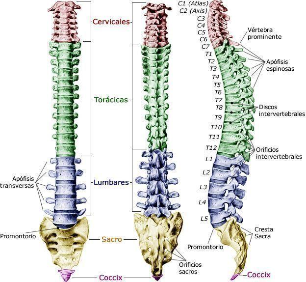 Imagen de las curvas naturales de la columna vertebral.