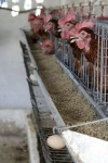 More on Chickens