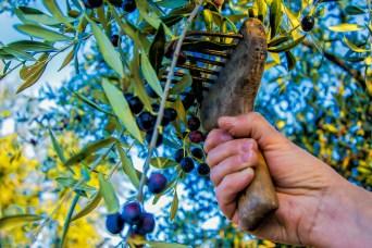 Gener LA RECOL·LECCIÓ Recol·lecció de les olives de la temporada 2015-2016. Autor/a: Maria Tost Segura Operador/a inscrit: CT/4293/P Maria Tost Segura Lloc: Granyena de les Garrigues (Les Garrigues)