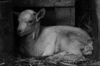 CABRIT ARRAULIT Cabrit dormint, després de mamar, a dins del corral. Autor/a: Prem-Pau Puig Barbena Operador/a inscrit: CT/4125/P Prem-Pau Puig Barbena Lloc: Can Torrent, Mieres (Garrotxa)