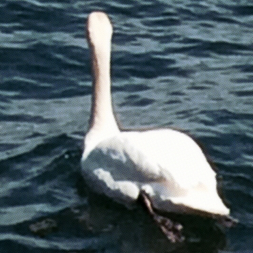 Swan in deep blue water swimming away from camera.