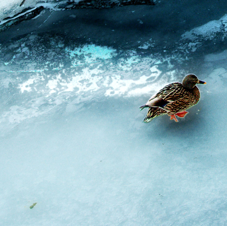 Duck with orange feet walking across thick cracked and heaving blue ice.