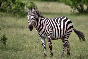 Fun Fact: Zebras Are on the Loose in This County!