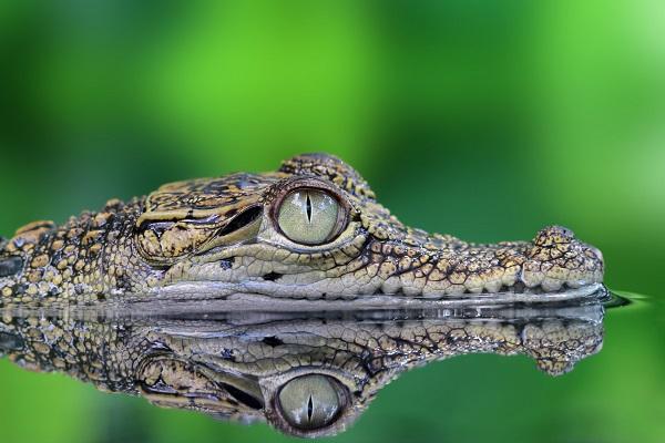 sonar-con-cocodrilos