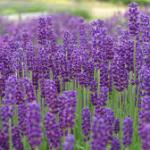 picking flowers - Lavender
