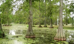 shade trees - Bald Cypress Tree