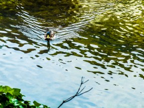 The duck is having a fine day