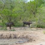African Warthogs