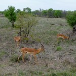 Impalas South African Safari