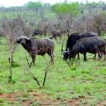African Buffalo South African Safari
