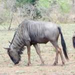 Wildabeast South African Safari