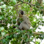 Monkey South African Safari