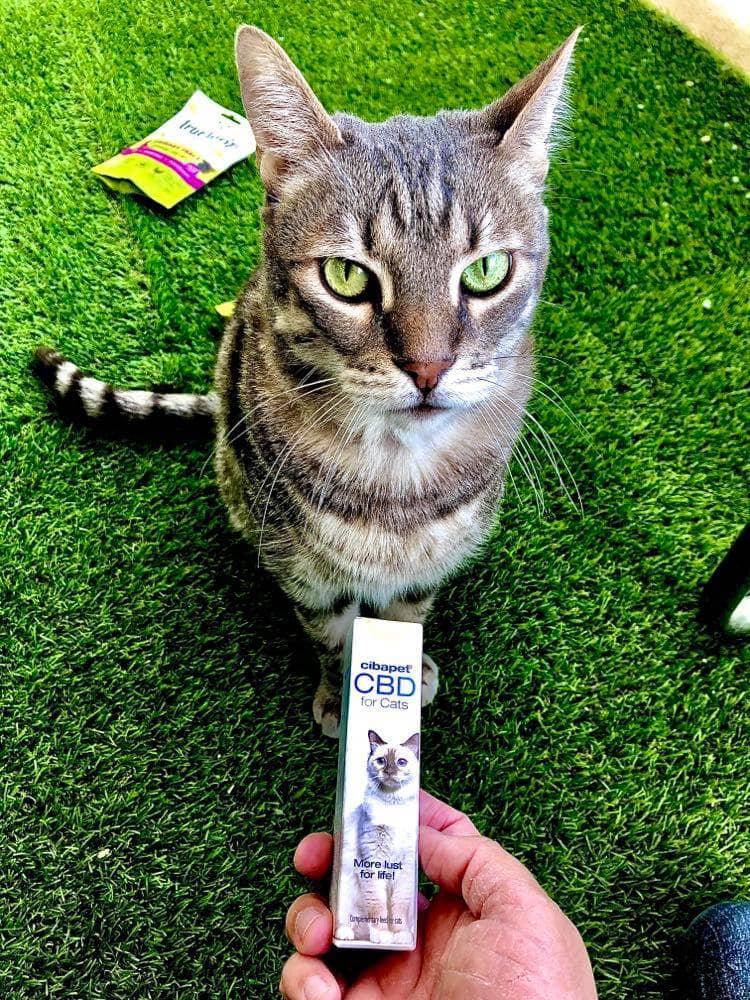 pourquoi donner du cbd à son chien ou son chat ? quels sont les effets du cbd pour animaux ? quels sont les bienfaits du cannabidiol pour animaux ? qu est ce que le chanvre thérapeutique pour animaux ? peut on donner du cannabis médical à son chat ou son chien sans risque de dépendance ? comment donner du cbd à son animal ? quelle posologie donner à son chien ou son chat ?
