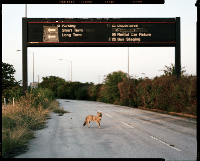 Sandy Carson, Coyote At Mueller II, 2010, archival inkjet print, 24 x 36 inches.