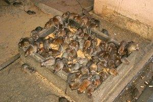 rats-eat-grain